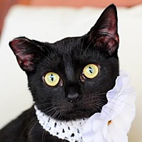 Domestic Shorthair Cat for adoption in Fort Lauderdale, Florida - K'Ehlar