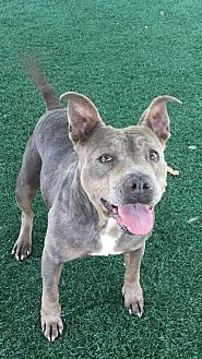 Pit Bull Terrier Mix Dog for adoption in Chula Vista, California - Maya
