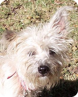 Silky Terrier Mix Dog for adoption in Guthrie, Oklahoma - Cutie Pie