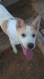 Retriever (Unknown Type) Mix Puppy for adoption in Las Cruces, New Mexico - Merida
