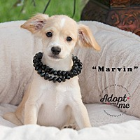 Adopt A Pet :: MARVIN - Inland Empire, CA