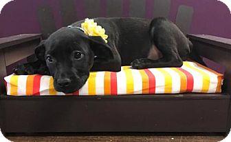 Labrador Retriever/Boxer Mix Puppy for adoption in Maple Grove, Minnesota - Chikka
