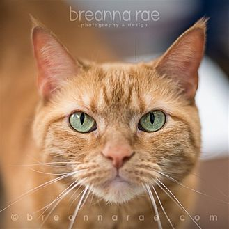 Domestic Shorthair Cat for adoption in Sheboygan, Wisconsin - Ginger
