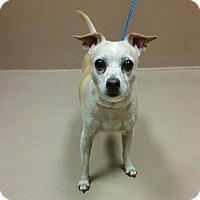 Chihuahua Mix Dog for adoption in Reno, Nevada - Boo Boo