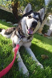 Husky Dog for adoption in Los Angeles, California - Bella