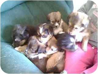 Sheltie, Shetland Sheepdog/Chihuahua Mix Puppy for adoption in Hillsboro, Ohio - Sheltie Mix (6) Born 4-13-08
