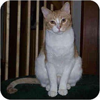 Domestic Shorthair Cat for adoption in Redlands, California - Gulliver