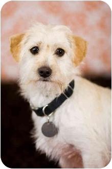 Norfolk Terrier Mix Dog for adoption in Portland, Oregon - Lincoln