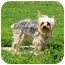 Photo 1 - Yorkie, Yorkshire Terrier Dog for adoption in Ile-Perrot, Quebec - Yoshi