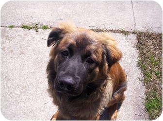 Australian Cattle Dog/German Shepherd Dog Mix Puppy for adoption in Williamsburg, Virginia - Charlie