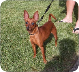 Chihuahua Mix Dog for adoption in Paris, Illinois - Sage