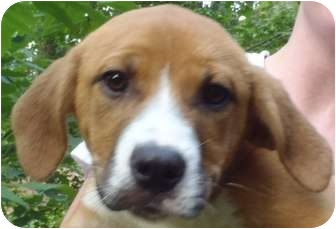 Boxer Mix Puppy for adoption in Chapel Hill, North Carolina - Campbell