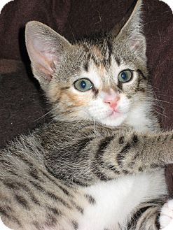 Domestic Shorthair Cat for adoption in Jacksonville, Florida - Lilly
