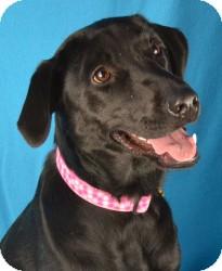 Labrador Retriever Mix Dog for adoption in Minneapolis, Minnesota - Brinkley