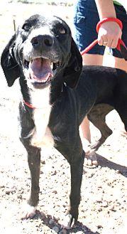 Greyhound/Labrador Retriever Mix Dog for adoption in Chino Valley, Arizona - Annabelle