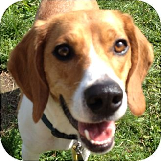 Beagle Mix Dog for adoption in Ithaca, New York - Thabo (Jake)