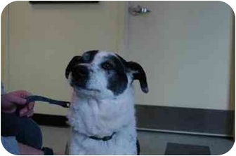Border Collie Mix Dog for adoption in Warwick, Rhode Island - Rocky: Will Melt Your Heart