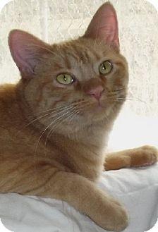 Domestic Shorthair Kitten for adoption in Savannah, Missouri - Sunny
