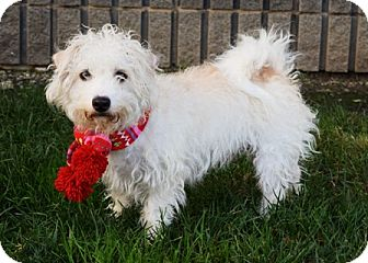 Terrier (Unknown Type, Small)/Poodle (Miniature) Mix Dog for adoption in Dublin, California - Ollie