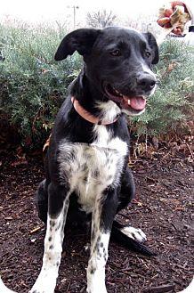 Pointer/Border Collie Mix Dog for adoption in Overland Park, Kansas - A067345