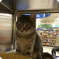Adopt A Pet :: Kit Kat - St. Louis, MO