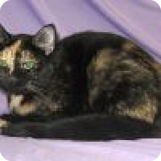 Domestic Shorthair Cat for adoption in Powell, Ohio - Dessie
