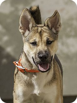Akita/Husky Mix Puppy for adoption in Washoe Valley, Nevada - Penny