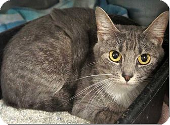 American Shorthair Cat for adoption in Concord, North Carolina - Athena
