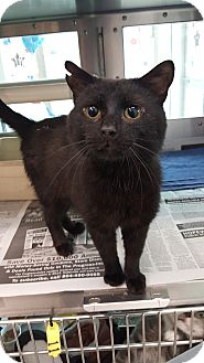 Domestic Shorthair Cat for adoption in Prince George, Virginia - Willow
