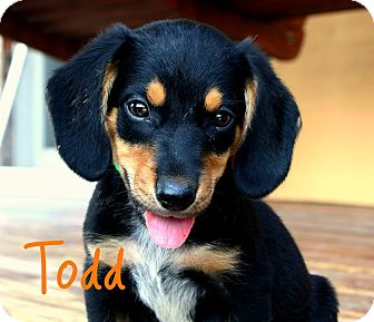 Beagle Mix Puppy for adoption in Brazil, Indiana - Todd