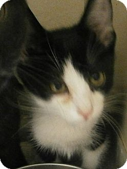Domestic Shorthair Kitten for adoption in Cheboygan, Michigan - Zorro