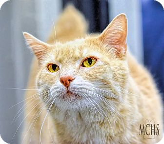 Domestic Shorthair Cat for adoption in Martinsville, Indiana - Ricky Bobby
