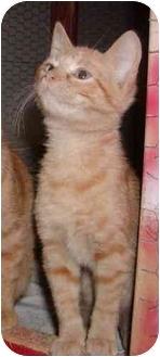 Domestic Shorthair Kitten for adoption in Overland Park, Kansas - Punkin
