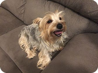 Yorkie, Yorkshire Terrier Mix Dog for adoption in Thousand Oaks, California - Angelina