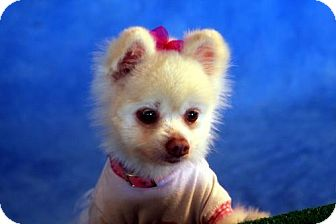 Pomeranian Dog for adoption in Dallas, Texas - Maggie