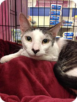 Domestic Shorthair Cat for adoption in Tampa, Florida - Rosie Picklebottom