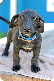 Labrador Retriever/Corgi Mix Puppy for adoption in Waldorf, Maryland - Dox