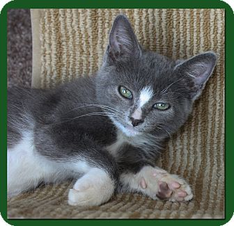 Domestic Shorthair Kitten for adoption in Lambertville, New Jersey - Frank
