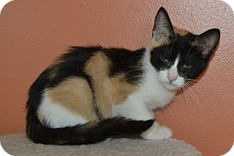 Calico Kitten for adoption in Michigan City, Indiana - Pumpkin