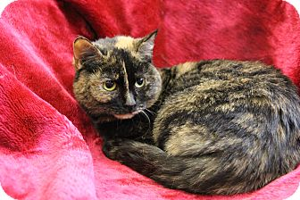 Domestic Shorthair Cat for adoption in Greensboro, North Carolina - Sweetie Pie