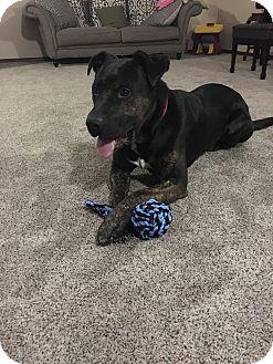 American Staffordshire Terrier/Mastiff Mix Dog for adoption in Portland, Oregon - Brian
