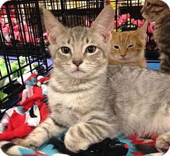 Domestic Shorthair Cat for adoption in Ephrata, Pennsylvania - Tonka - new pictures