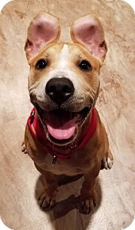 Pit Bull Terrier/Mixed Breed (Large) Mix Puppy for adoption in Aurora, Ohio - Arlo