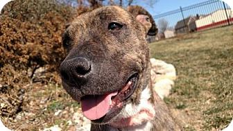 Boxer/Labrador Retriever Mix Dog for adoption in Mission, Kansas - Perdita