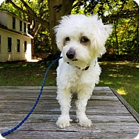 Adopt A Pet :: Miso - Monroe, CT