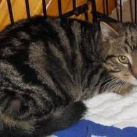 Domestic Shorthair/Domestic Shorthair Mix Cat for adoption in Saskatoon, Saskatchewan - Tawny