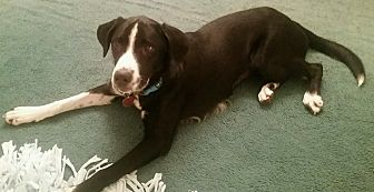 Border Collie Mix Dog for adoption in Humble, Texas - Phoebe