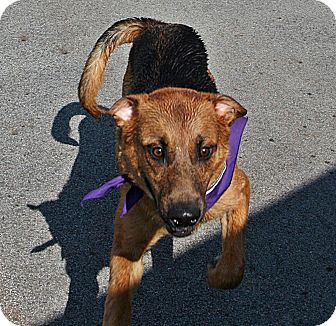Shepherd (Unknown Type)/Mixed Breed (Medium) Mix Puppy for adoption in Beebe, Arkansas - Ace