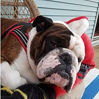 Adopt A Pet :: Bulldozer - Decatur, IL