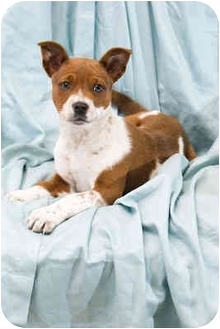Australian Cattle Dog Mix Puppy for adoption in Portland, Oregon - Francis